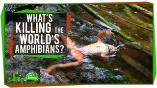 What's Killing the World's Amphibians?