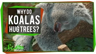 Why Do Koalas Hug Trees?