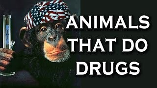 Top 10 Animals That Do Drugs