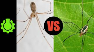 Are Daddy Longlegs Spiders?  (Re: 8 Animal Misconceptions Rundown)