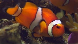 Nemo is a hermaphrodite - Smarter Every Day 115