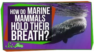 How Do Marine Mammals Hold Their Breath For So Long?