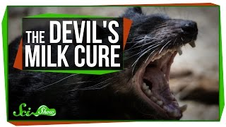 Using Devil's Milk to Kill Superbugs