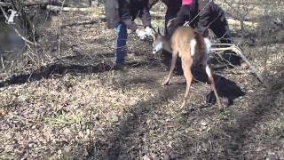 Man tries to save deer. Deer tries to kill man. Man breaks off deer antler.