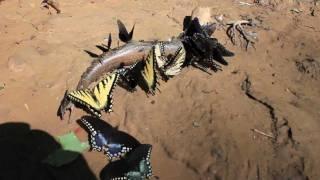 "Carnivorous Scavenger Butterflies Eat a Fish ""Puddling"""