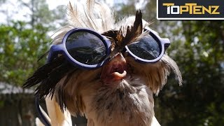 Top 10 Reasons CHICKENS are the Most BADASS Animal