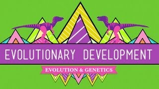 Evolutionary Development: Chicken Teeth - Crash Course Biology #17