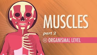 Muscles, part 2 - Organismal Level: Crash Course A&P #22