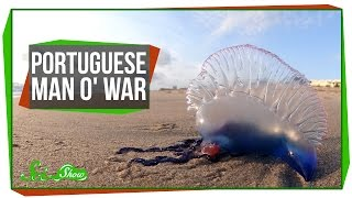 Portuguese Man o' War: An Organism Made of Organisms?